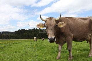 緑豊かな緑のフィールドの上に立っている牛の写真・画像素材[1218650]