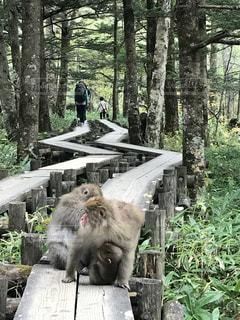 上高地の猿家族の写真・画像素材[2211339]