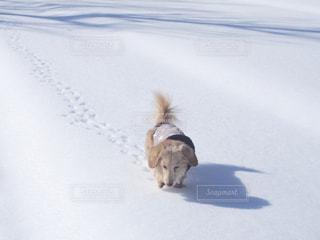 雪の中の犬の写真・画像素材[1200664]