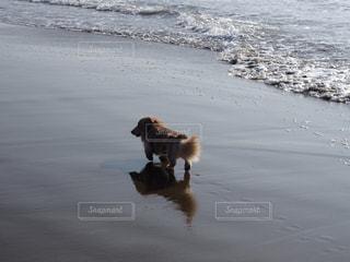 ビーチの上を歩く犬の写真・画像素材[1200676]