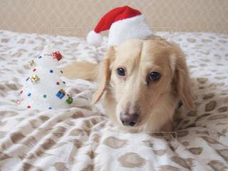 茶色と白の犬をベッドの上に座っての写真・画像素材[1200691]