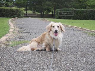 ひもに茶色と白犬の写真・画像素材[1200696]