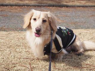 ひもに茶色と白犬の写真・画像素材[1200709]