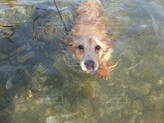 水中を泳ぐ犬の写真・画像素材[1200721]