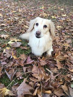 地面に横たわっている茶色と白犬の写真・画像素材[1200731]