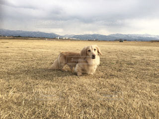乾いた草のフィールドの上に座っている犬の写真・画像素材[1200732]