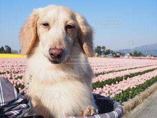 草の中に座っている犬の写真・画像素材[1253822]