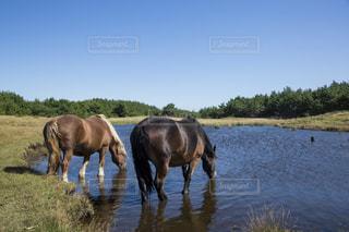 水を飲む寒立馬の写真・画像素材[1201135]