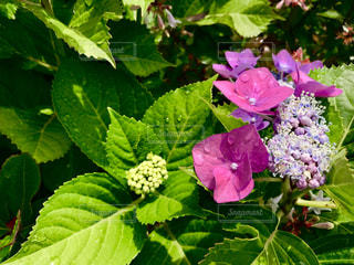 屋外,ピンク,緑,あじさい,水滴,葉,紫陽花,梅雨,草木,がくあじさい