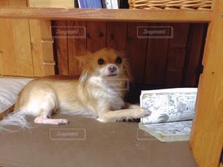 木製テーブルの上に横たわっている茶色と白犬の写真・画像素材[1201698]