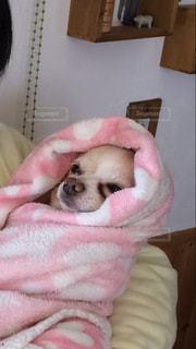 ベッドの上に横たわる犬の写真・画像素材[1201732]