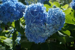 あじさい,紫陽花,梅雨,6月,ハートのあじさい