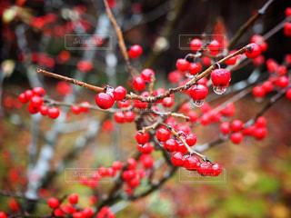 木の実の写真・画像素材[1201894]