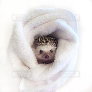 巻き巻きハリネズミの写真・画像素材[1675843]