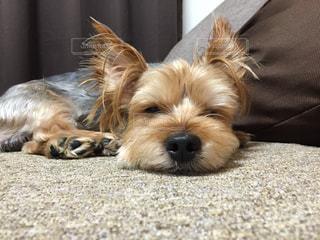 地面に横たわっている茶色と白犬の写真・画像素材[1202211]
