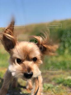 カメラを見て小型犬の写真・画像素材[1203145]