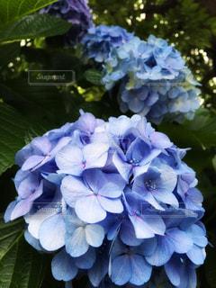 花,緑,青,紫,葉,紫陽花,梅雨,草木,アジサイ,フォトジェニック
