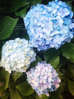 自然,花,緑,青,紫,葉,紫陽花,梅雨,草木,フォトジェニック