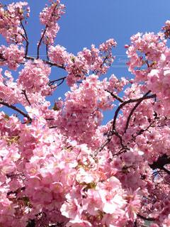 桜の写真・画像素材[1377939]