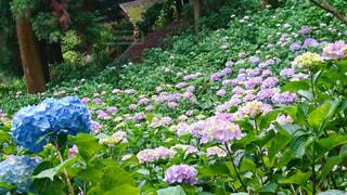 山の斜面の一面に咲く紫陽花の写真・画像素材[1216565]