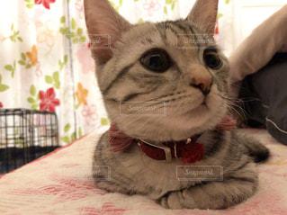 赤い毛布を着て猫の写真・画像素材[1258536]