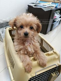 バスケットに座って小さな茶色と白犬の写真・画像素材[1203003]