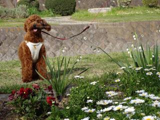 庭の小型犬の写真・画像素材[1203969]