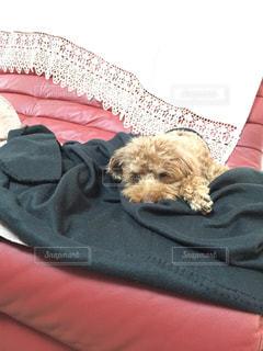 犬,屋内,茶色,ソファ,トイプードル,のんびり,眠い,お気に入り,トイプードル男の子