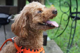 その舌をだらりと茶色の犬の写真・画像素材[1262391]
