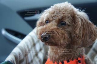 車の上に座っている犬の写真・画像素材[1269152]