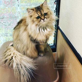 テーブルの上に座って猫の写真・画像素材[1258095]