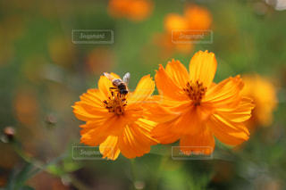 花,コスモス,秋桜,オレンジ色,ミツバチ,みちのく公園