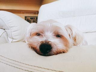 犬,お部屋,白,お昼寝