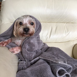 犬,お部屋,お風呂上り