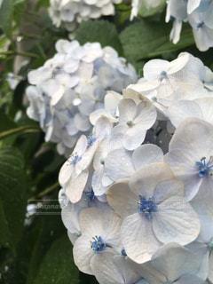 花,雨,屋外,緑,植物,白,紫陽花,梅雨,6月,日中