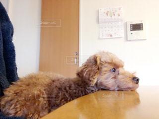 横になって、カメラを見ている犬の写真・画像素材[1204294]