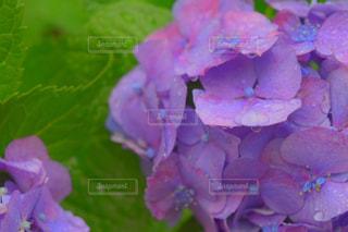 雨,あじさい,水滴,紫陽花,雨上がり,梅雨,6月