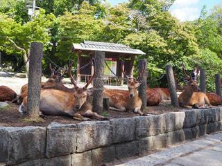 動物,鹿,シカ,奈良公園,夏バテ,熱中症