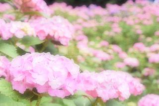 花,夏,雨,ピンク,あじさい,紫陽花,梅雨,草木,蒲郡,インスタ映え,あじさいの里