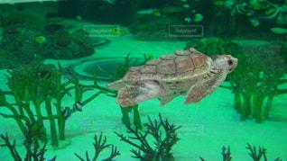 水の下で泳ぐ海亀の写真・画像素材[1381756]
