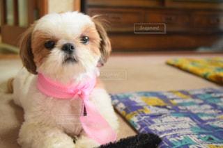 テーブルの上に座って、小さな茶色と白犬の写真・画像素材[1221958]