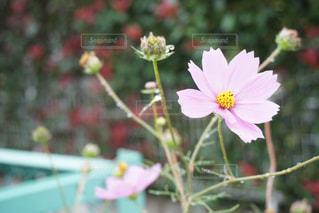 近くの花のアップの写真・画像素材[1454617]