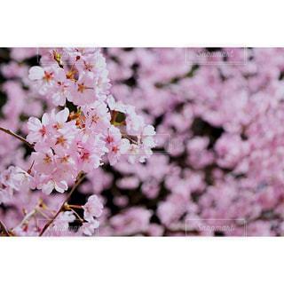 お花見の写真・画像素材[1832453]