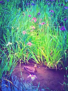 自然,鳥,水面,水辺,景色,菖蒲,鴨,梅雨,6月,カモ,しょうぶ,しょうぶ池