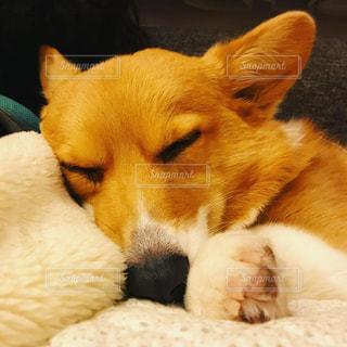 ベッドの上で横になっている茶色と白犬の写真・画像素材[1206596]