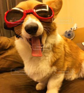 近くに犬のサングラスのアップの写真・画像素材[1206660]