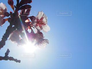 空,花,桜,木,太陽,青空,枝,逆光,景観,花弁