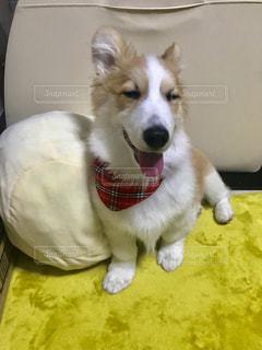笑う犬の写真・画像素材[1211055]