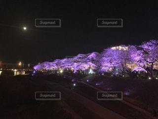 妖艶な桜並木の写真・画像素材[1217804]