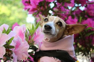 近くにピンクの花に犬のアップの写真・画像素材[1216410]